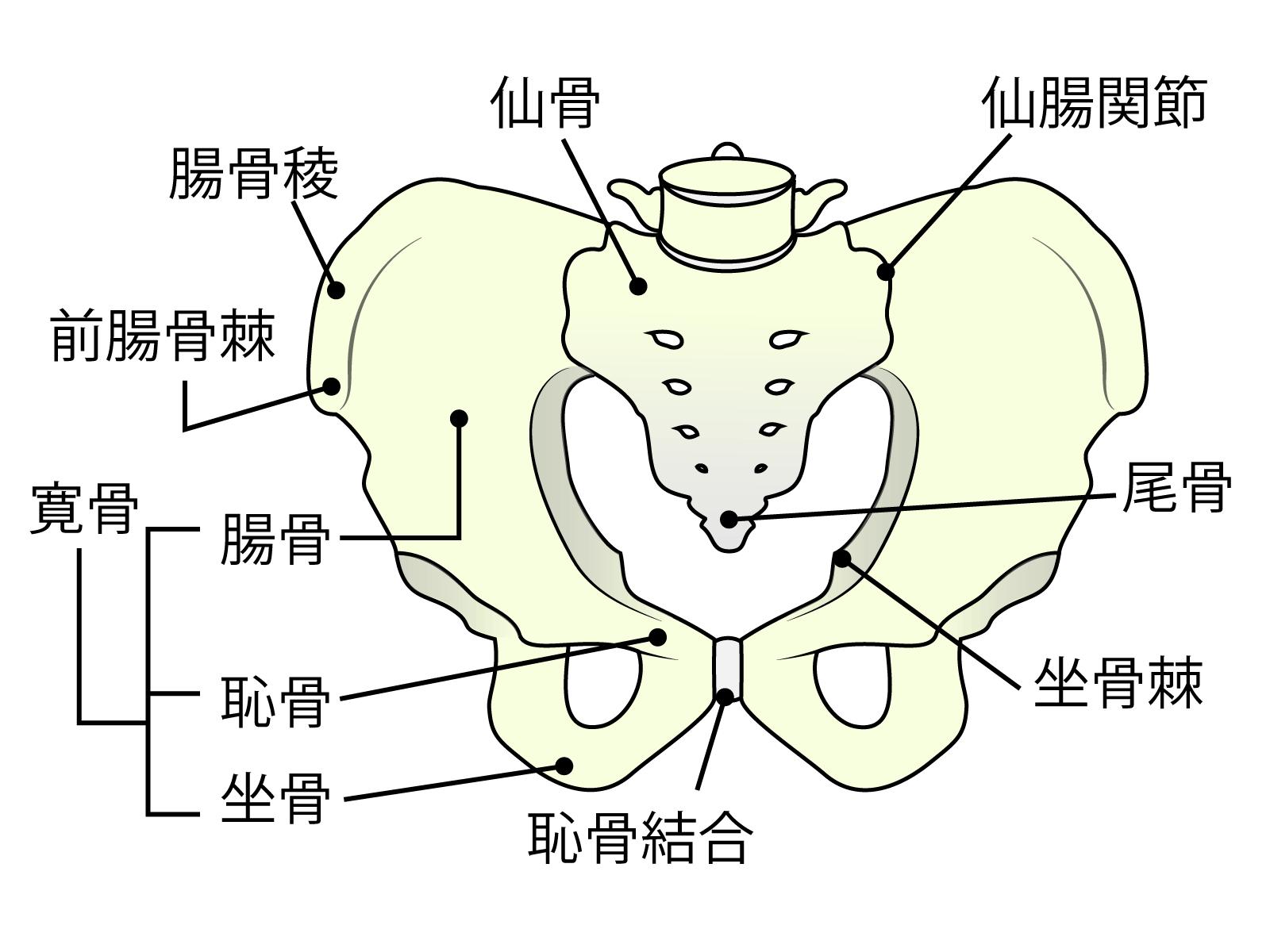 骨盤の中心 仙骨 女性ホルモンの分泌